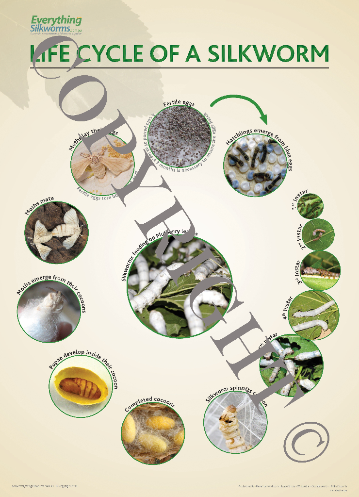 Large Life Cycle Poster - Everything Silkworms