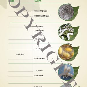 Silkworm Life Cycle Fill-in Sheet - Copyright Version