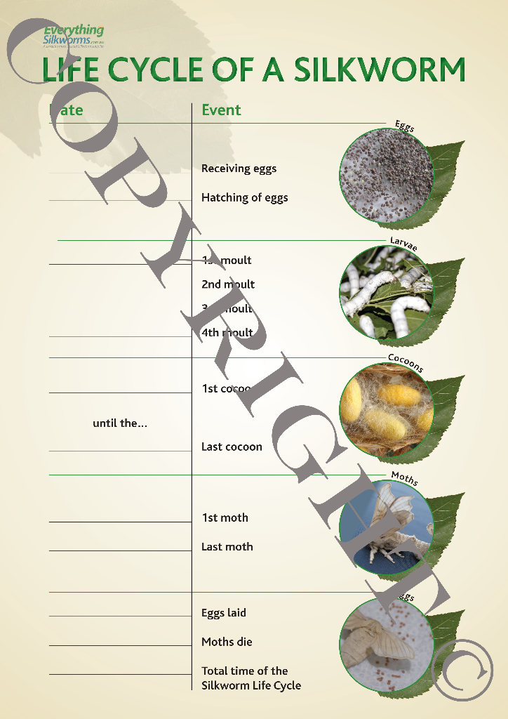 Miniature Life Cycle Fill-in Sheet - Everything Silkworms