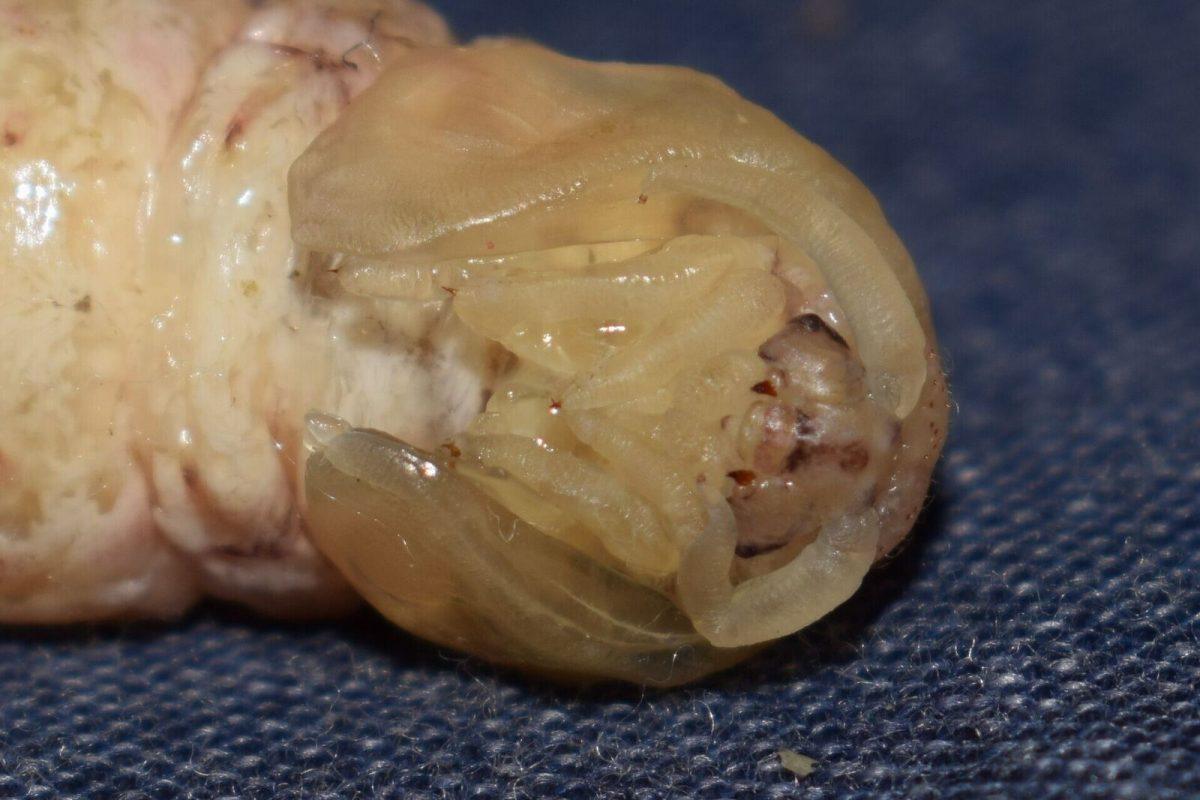 The face of a Silkworm chrysalis