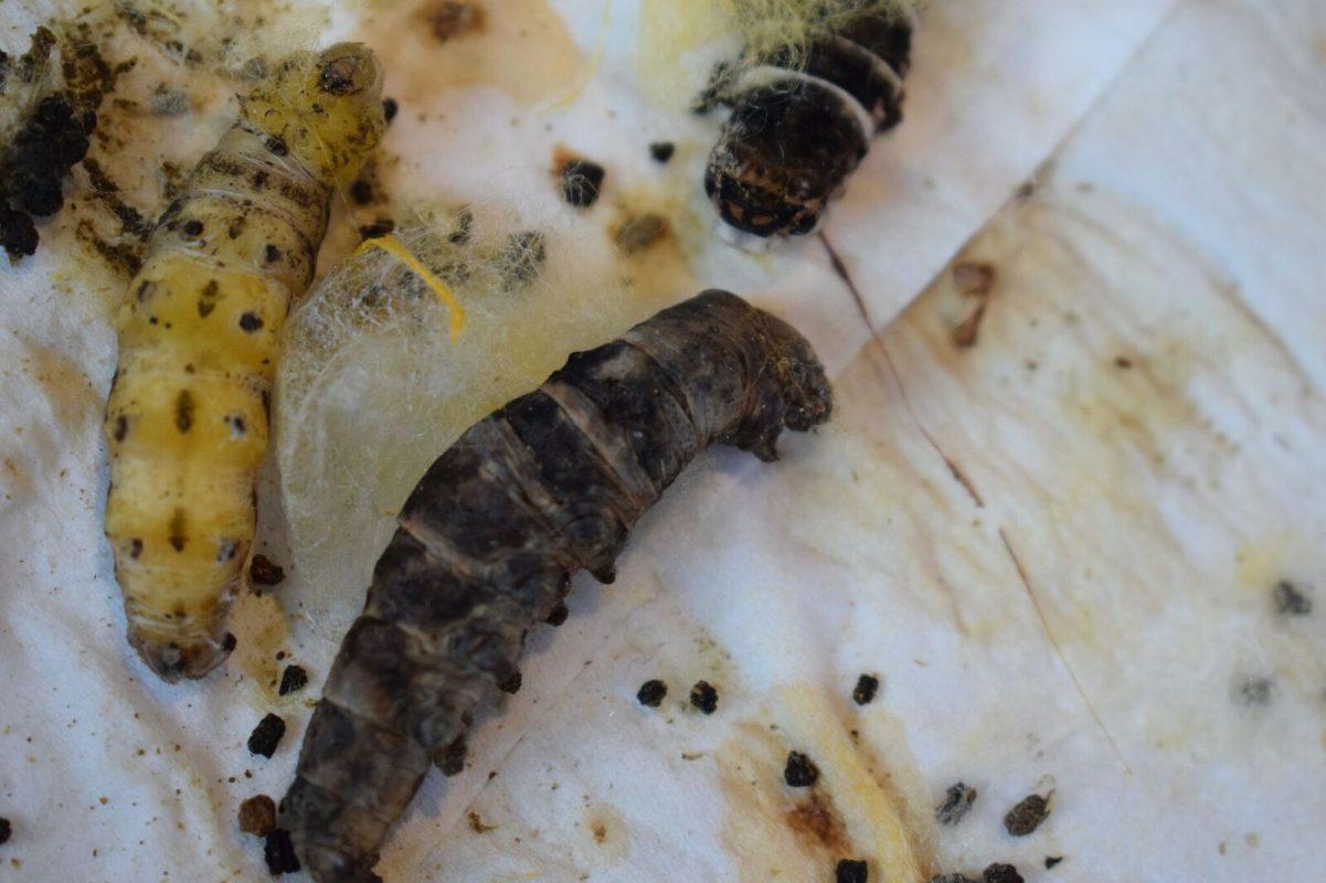 Diseased Silkworms