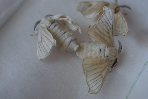Silk-moths mating