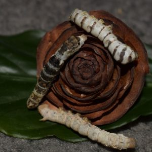 Silkworms on a dried flower
