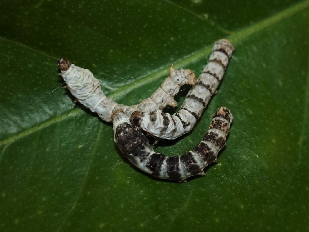The three different Silkworms and their stripes.