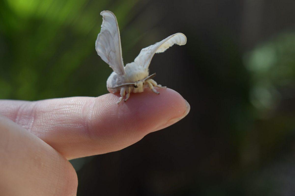 Silk-moth sitting on a finger