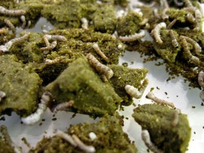 Small Silkworms eating chow