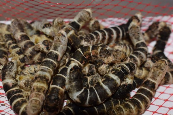 Tiger Silkworms on mesh