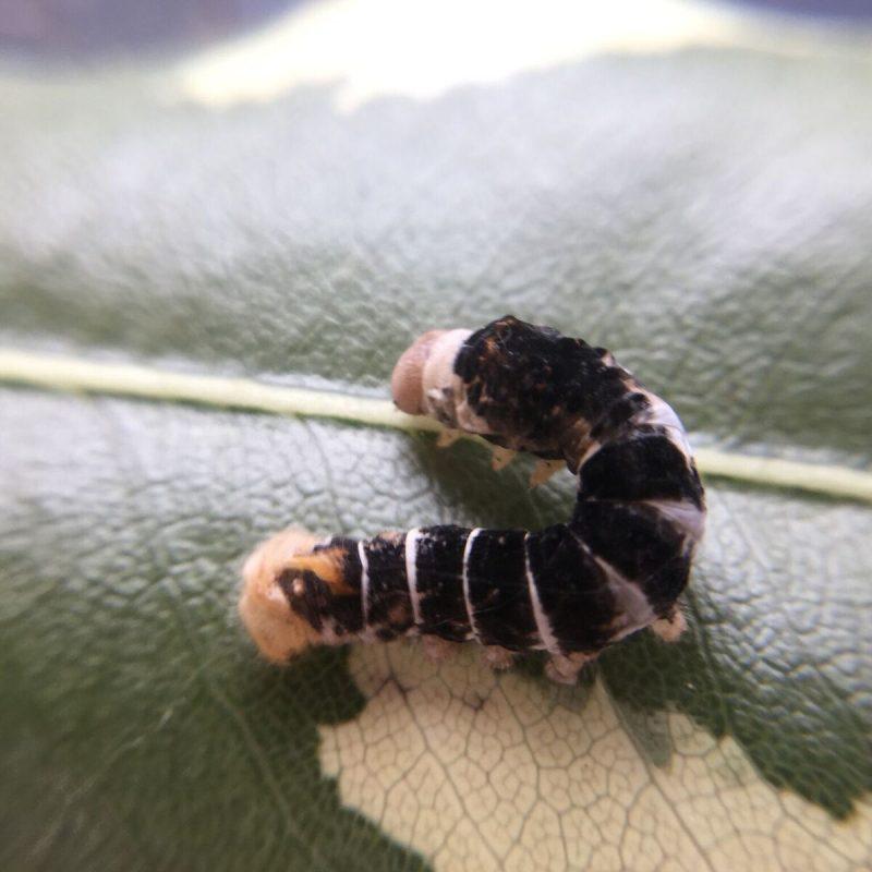 Tiger Silkworm on a leaf