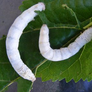 Two large White Seductress Silkworms munching on a Mulberry Leaf