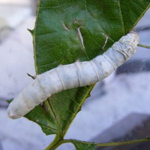 A large White Seductress Silkworm crawling on a leaf