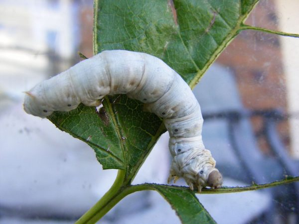 A large White Seductress Silkworm eating a Mulberry Leaf