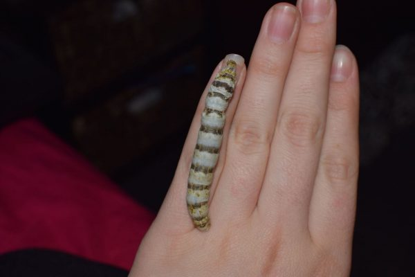 A Zebra Silkworm on the backside of a hand