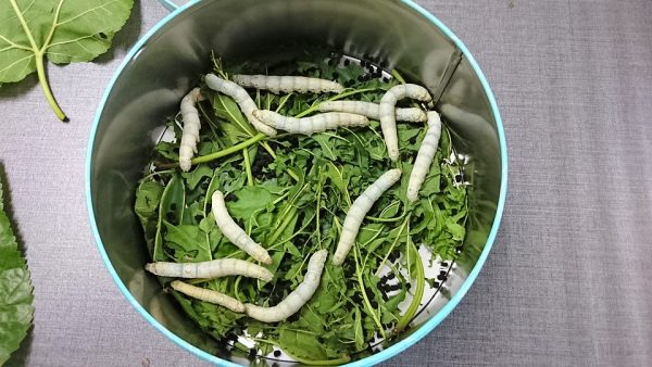 Raising silkworms in the classroom