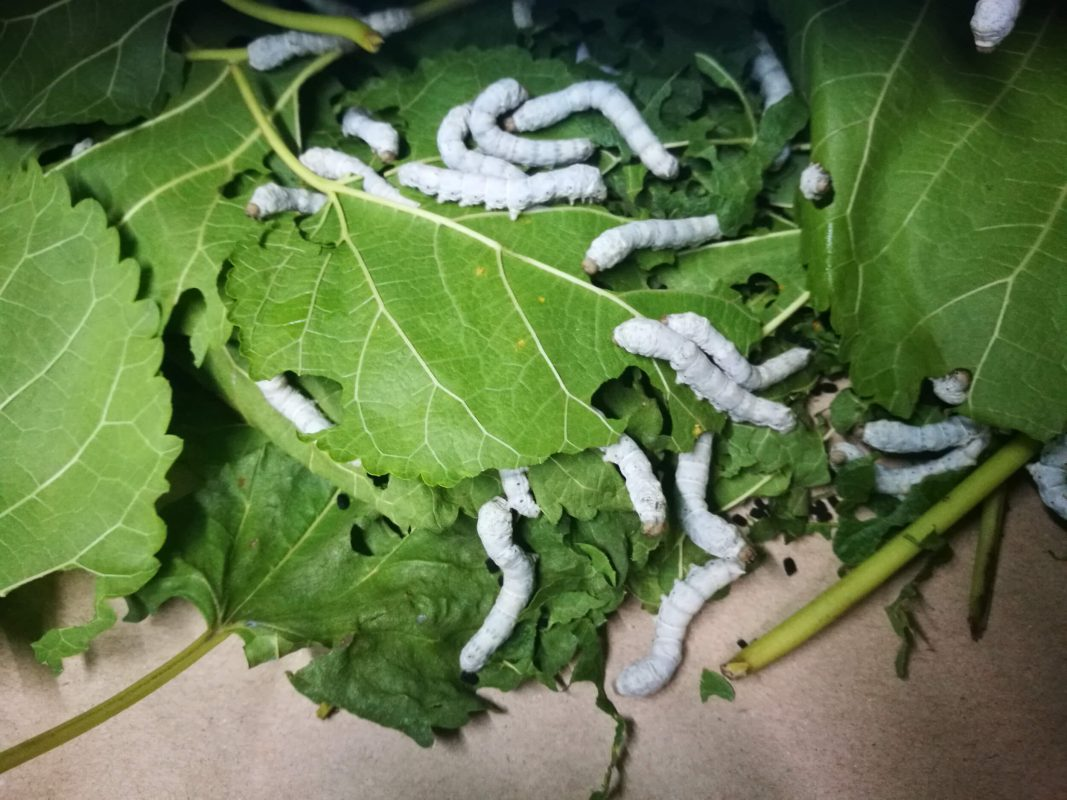 Silkworms Eating