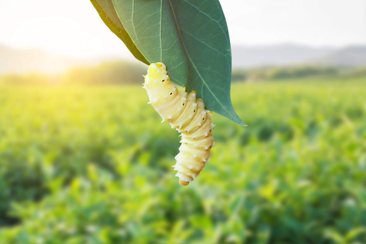White silkworm hanging from mulberry leaf