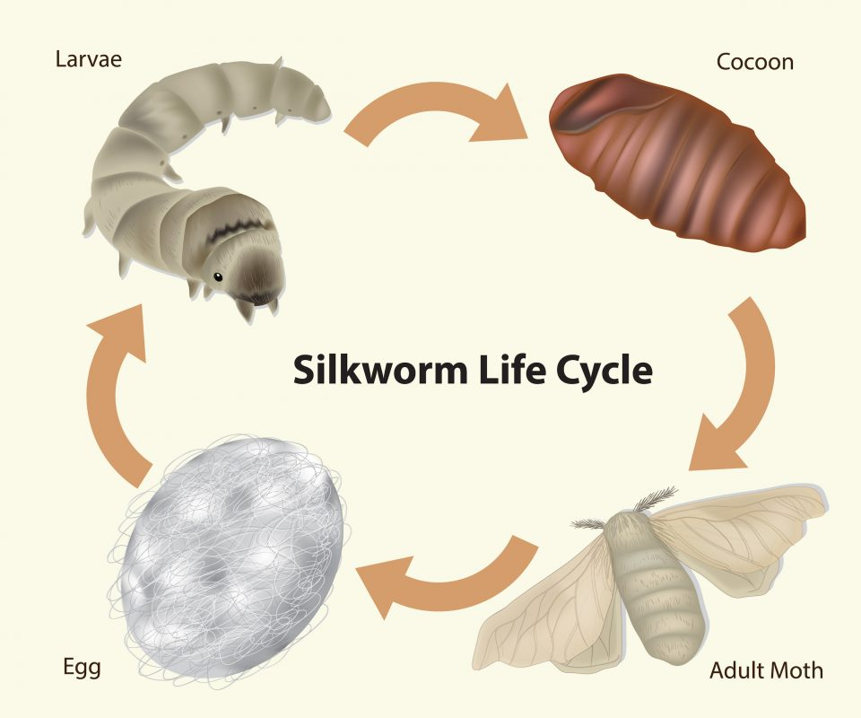 Life Cycle of a Silkworm