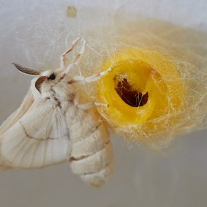Silk-moth emerging from a gold cocoon