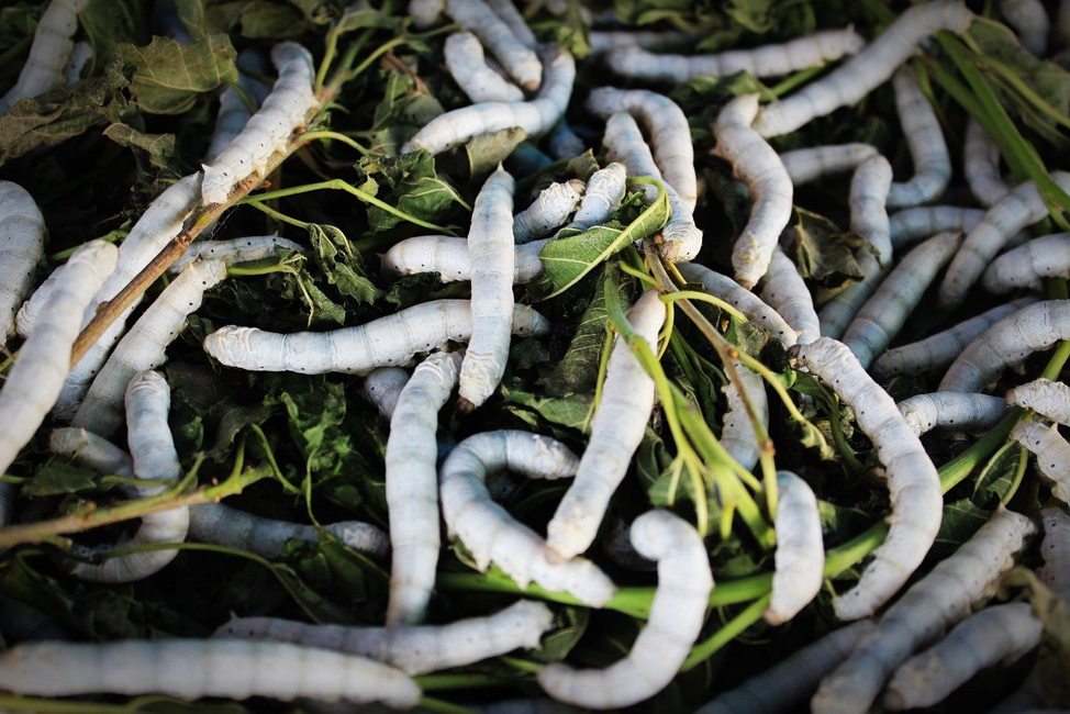 White Seductress Silkworms eating Mulberry Leaves
