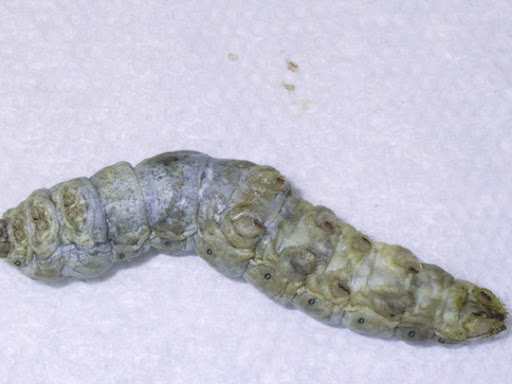 A Silkworm with Grasserie